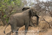 Republik Südafrika | Provinz Mpumalanga | Krüger-Nationalpark | Big Five | Elefant |