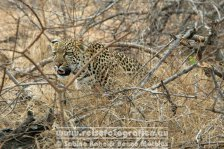 Republik Südafrika | Provinz Mpumalanga | Krüger-Nationalpark | Big Five | Leopard |